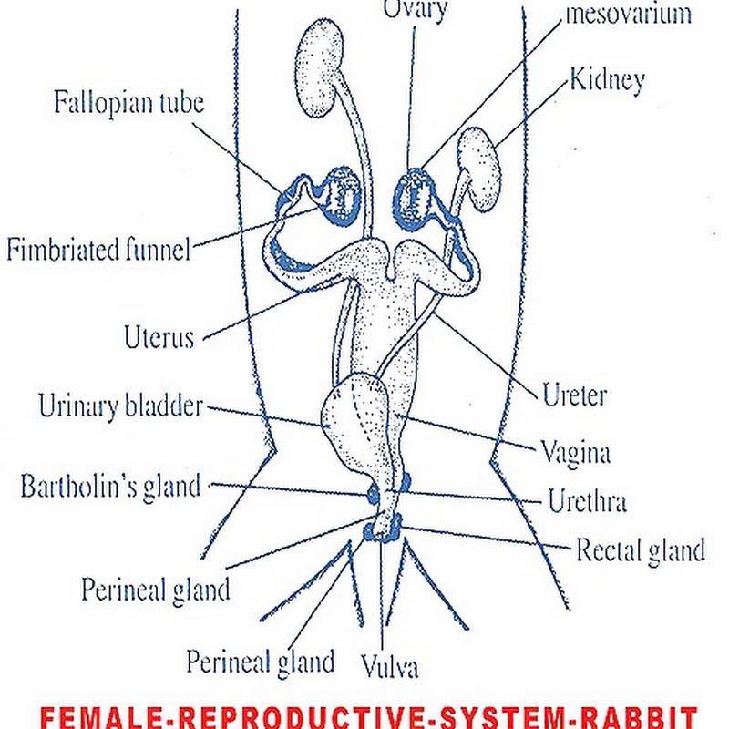 Female Reproductive System Rabbit Biozoom