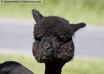 Amazing Pictures of Animals, photo, Nature exotic, funny, incredibel, Zoo, Vicugna pacos, Alpaca, Alex (29)