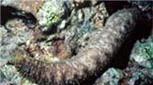 Polynésie holoturie