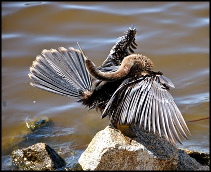 Birds - Contorted Anhinga