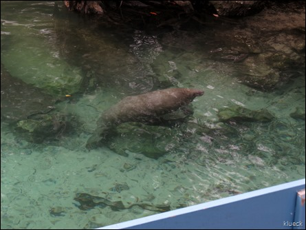 baby manatee at Three Sisters Springs