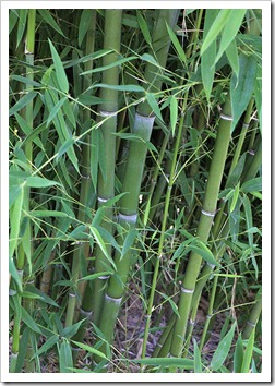 110731_Phyllostachys_bambusoides_05