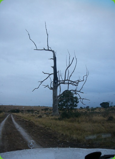 Eerie Tree, Frankfort Eastern Cape