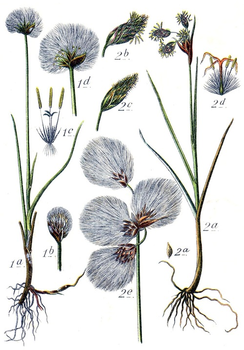 Eriophorum Scheuchzeri et Eriophorum polystachyum  Aus: J. Sturm's Flora von Deutschland  