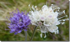 blue and white scabious