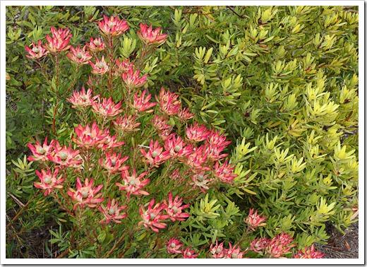 120211_UCSC_Arboretum_Leucadendron-salignum-Winter-Red- -Leucadendron-laureolum