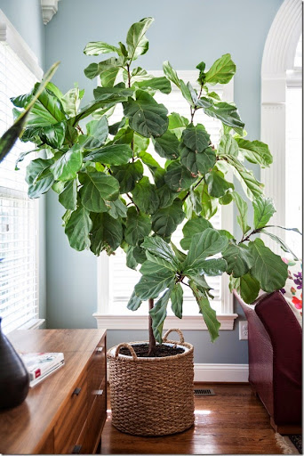 sunroom keeping your fiddle fig