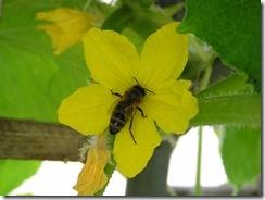včely na květu a matečniky 175