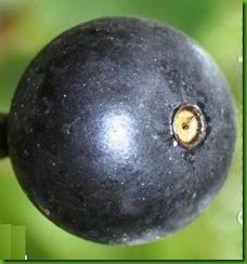 Alibertia sessilis1