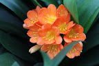 Clivias grow best where they receive bright daylight but little or no direct sun, as they burn easily.