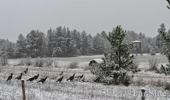Turkeys in the snow October 20 2013 (2)