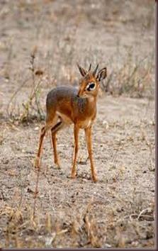 Amazing Pictures of Animals photo Nature, exotic, funny, incredibel Zoo, Dik-dik, antelope. Alex (20)
