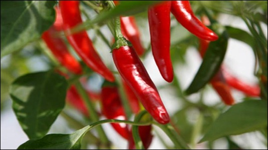 red-chile-peppers