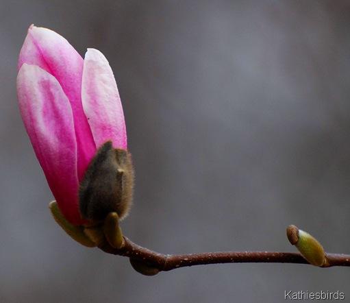13. magnolia bud-kab