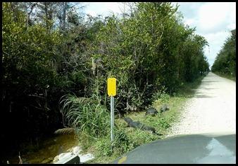 16g - Cypress Swamp Alligators