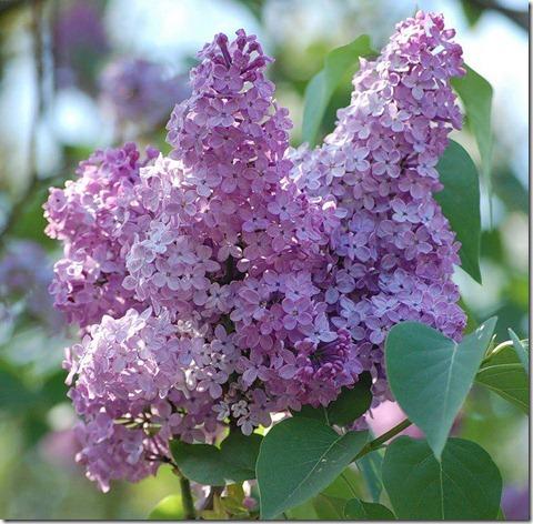 flores-facebook-tumblr-rosas-las flores-fotos de flores-778