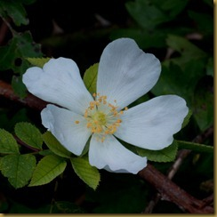 Field Rose, Rosa arvensis