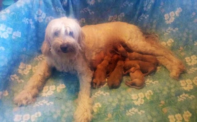just born labradoodle puppies