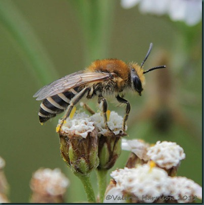 bee colletes -3