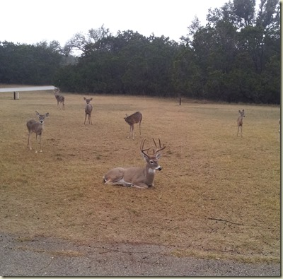 Deer at Medina Lake TT