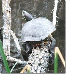 Turtle 3-30-2013 9-49-35 AM 1415x1578.1