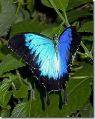 Blue Mountain Swallowtail