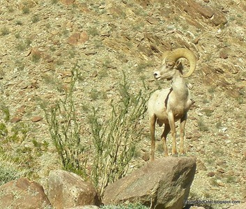 Bighorn in Palm Canyon