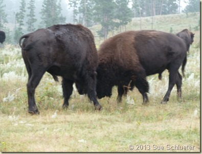 2013 Sep 08_Custer State Park Wildlife Loop South 2nd time_0633