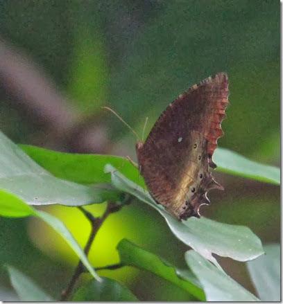 tawny palmfly
