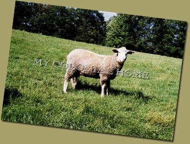 Sheep_0009