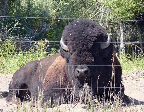 Wood River Bison