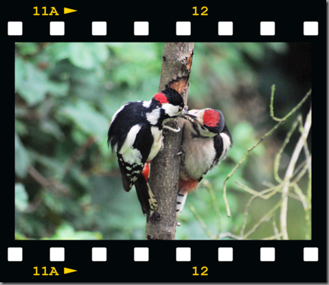 Male woodpecker feeding young 04 film png