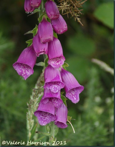 2-foxglove