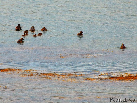 2. eider at the boat launch-kab