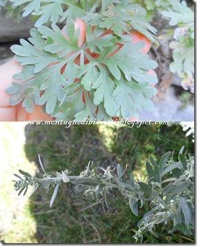 artemisia absinthium, assenzio
