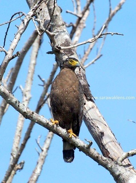 crested_serpent_eagle_sarawak_borneo