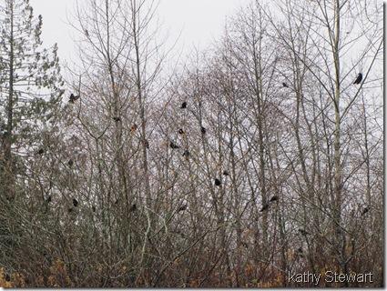 Black-birds in the bushes