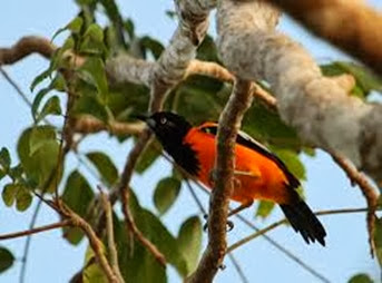 Amazing Pictures of Animals, Photo, Nature, Incredibel, Funny, Zoo, Venezuelan Troupial, Icterus icterus, Bird, Aves, Alex (14)