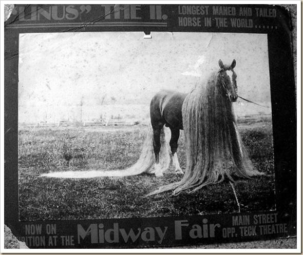 Linus le cheval aux crins les plus long du monde (1)