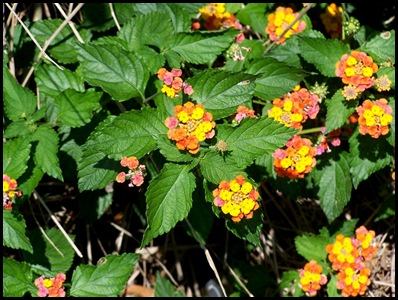 lantana1