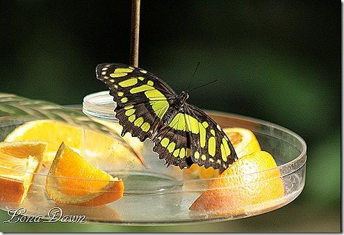 FPC_Butterfly_Malachite_Siproeta_stelenes3
