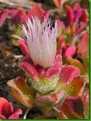 Mesembryanthemum H1