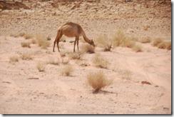 Oporrak 2011 - Jordania ,-  Wadi Rum, 22 de Septiembre  41