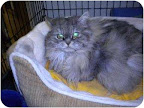 Miss Percy, Wadena, MN. I'm a house-trained young lady with long silky hair. I'm Persian, and very well mannered if I do say so myself! Oh and I was declawed on all 4 of my petite feet, so I must only be indoors... preferably on a soft velvet pillow surrounded by catnip and love.