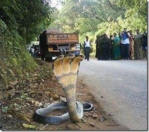 Трехголовая кобра. Подделка