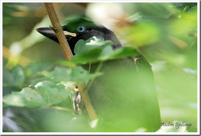 Jackdaw fledgling - png ab