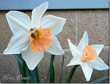 Daffodils_Peaches