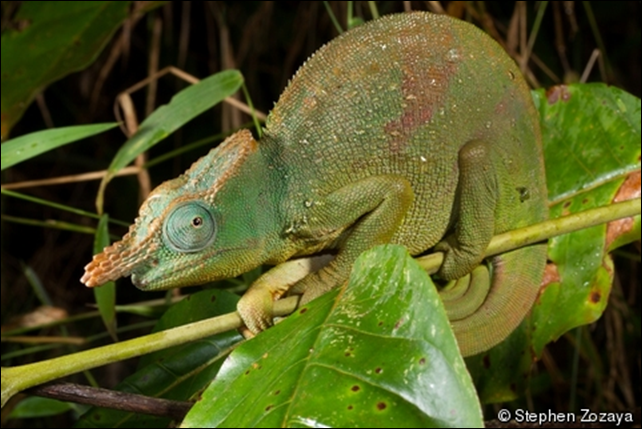 The Giant East Usambara Blade-horned Chameleon (Kinyongia matschiei), endemic to the East Usambara mountains of Tanzania, has been listed as Endangered by IUCN. Photo: Stephen Zozaya