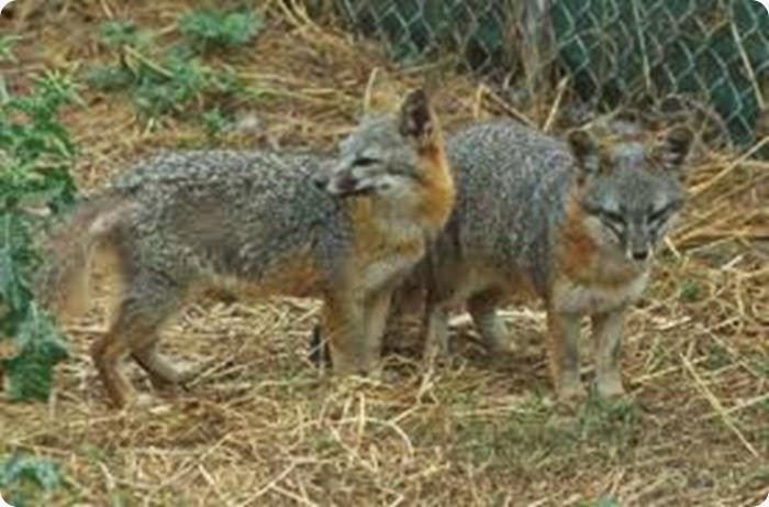 La volpe delle ande un predatore opportunista che for Dove vive la volpe
