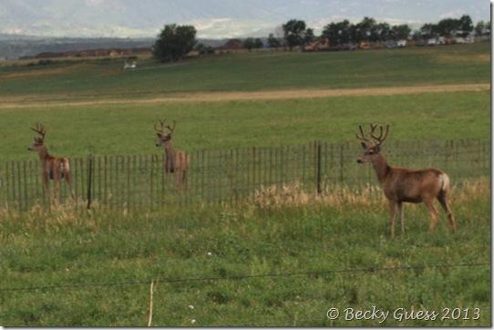 08-07-13 deer near LaVeta 01